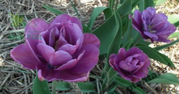 Tulipan Purple Jacket cebulki