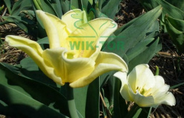 Tulipan Yellow Crown cebulki