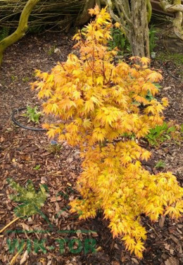 Klon Palmowy Orange Dream (Acer palmatum)
