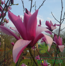 Magnolia Betty
