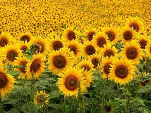 Słonecznik ogrodowy 10g - Ogrodniczy sklep internetowy WIK-TOR